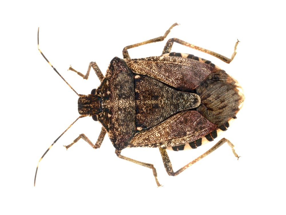 brown marmorated stink bug JAK103 (2).jpg