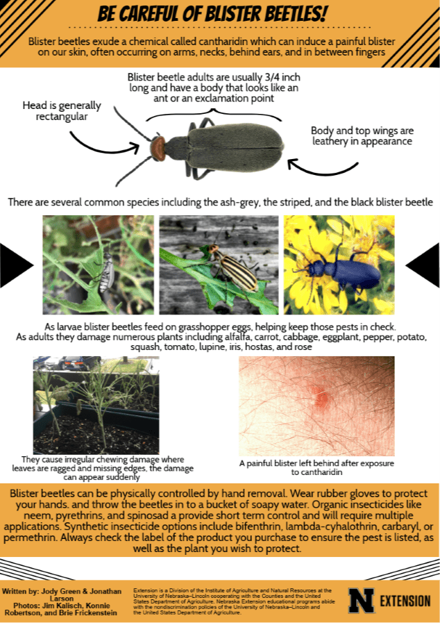blister beetle infographic
