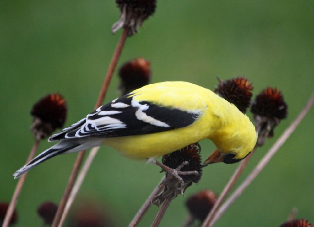 goldfinch eating black eyed susan