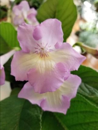 Streptocarpus 'Emily'