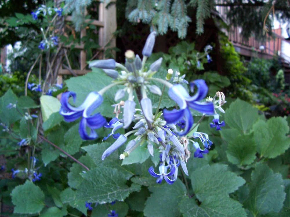 Tube Clematis