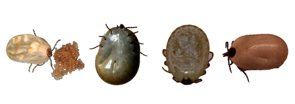 Engorged female ticks