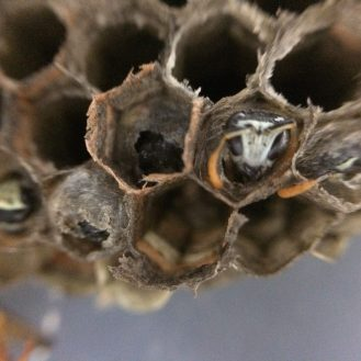 Capped cells have a pupating wasp that will emerge as an adult wasp.