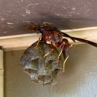 Metricus paper wasp has a mostly dark abdomen. ck