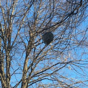 Aerial yellowjacket nest in a tree.