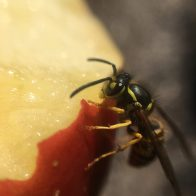 Yellowjackets feed on some of the foods we eat like meat, fruit, and pop.