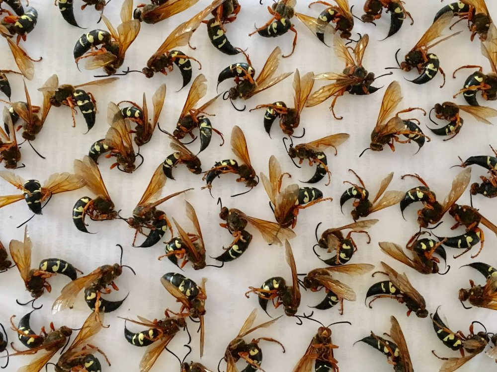 Cicada killer wasps in an afternoon