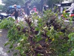Pohon Kersen Ini Tumbang dan Renggut Nyawa Siwa SMP di Ngrampal Sragen