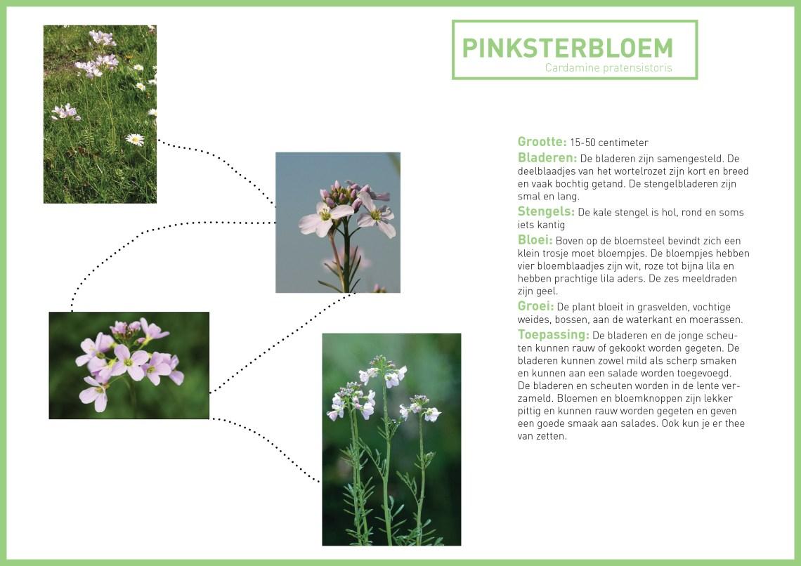 pinksterbloem - groene avonturen