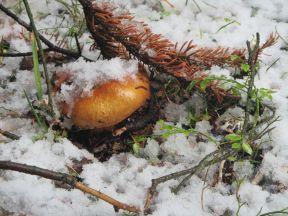 Pilz im ersten Schnee im Banff Nationalpark