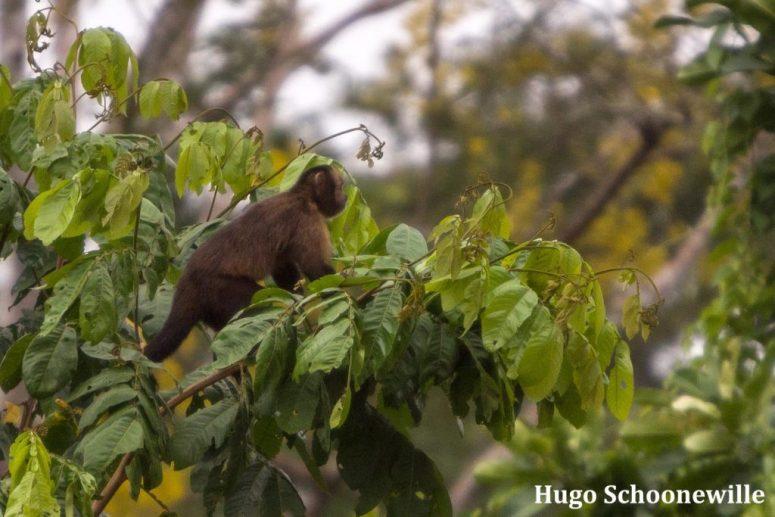 bruine kapucijnaap