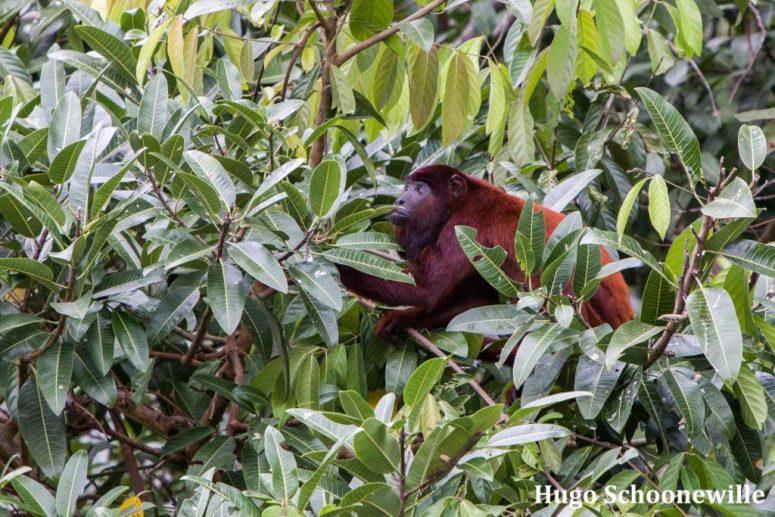 Manu National Park rode brulaap