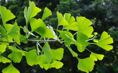 Ginkgo Biloba – The Mood Enhancing Adaptogen