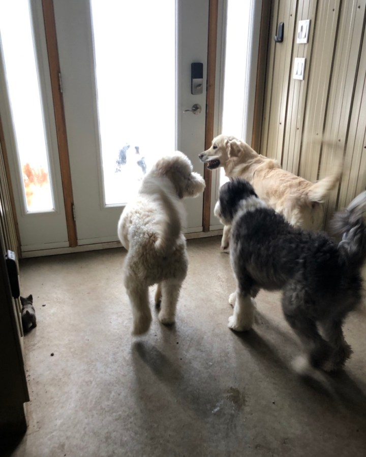 A picture of three smiling dogs, standing at the playroom door, looking forward to joining the rest of the pack on the trails.