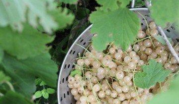 Размножение белой смородины черенками осенью