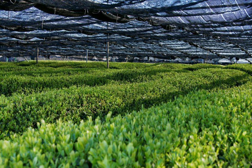 shade grown tea