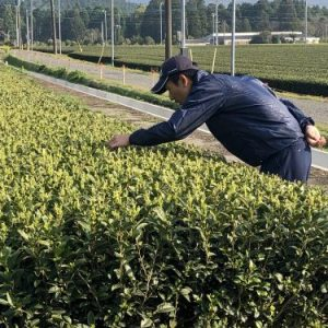 Checking organic tea leaf