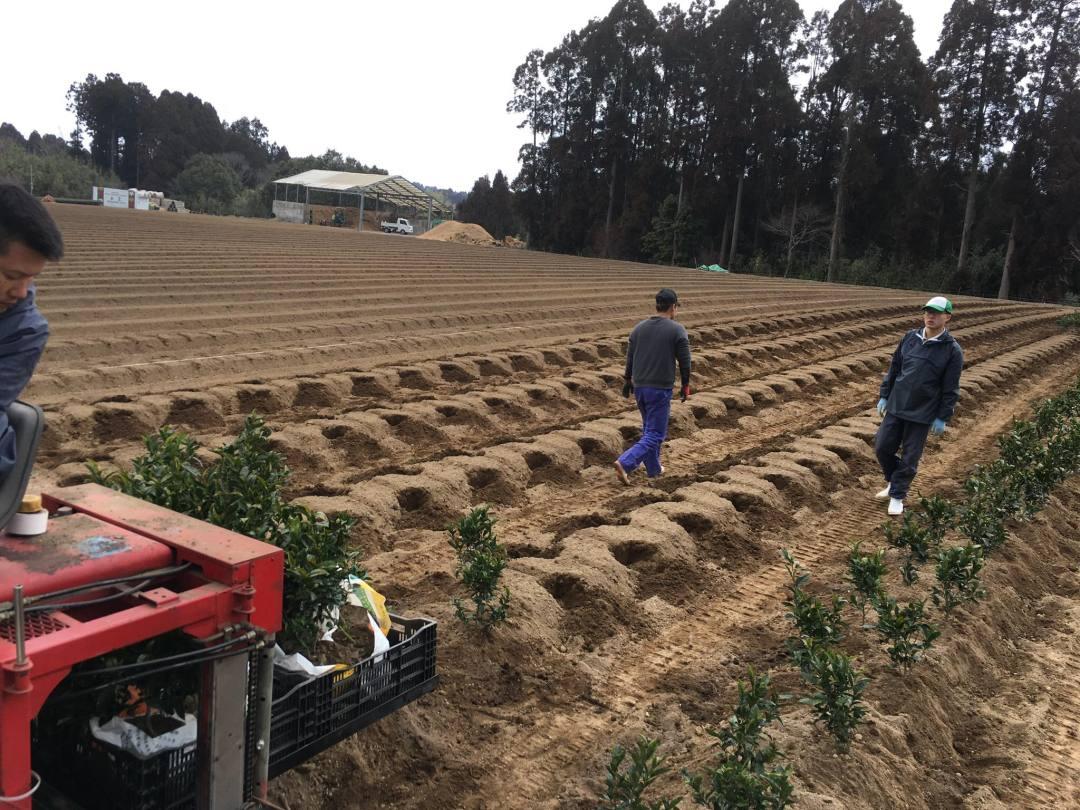 transplanting Haruto cultivar tea 2
