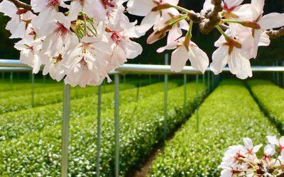Produce the Best Tasting Tea: Samurai Tea Master's Challenge