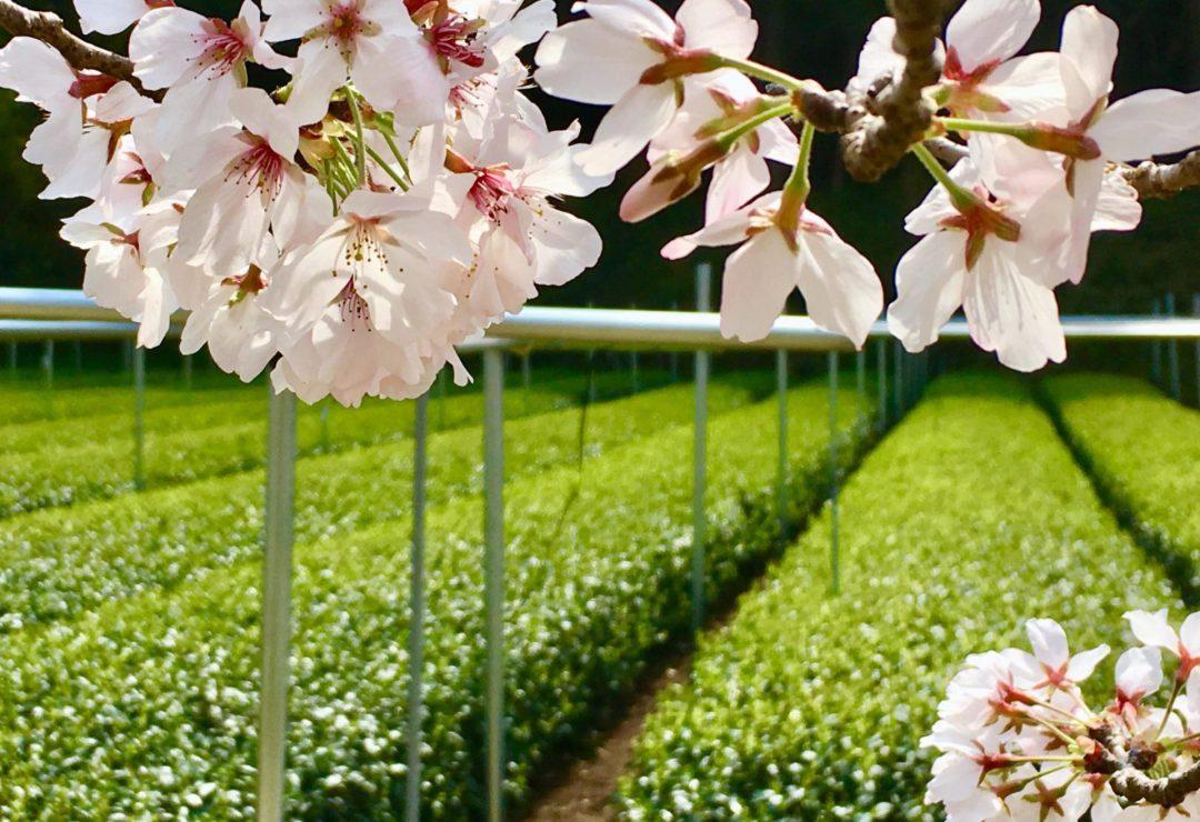 spring in Sakamoto Tea Garden in Kagoshima, Japan