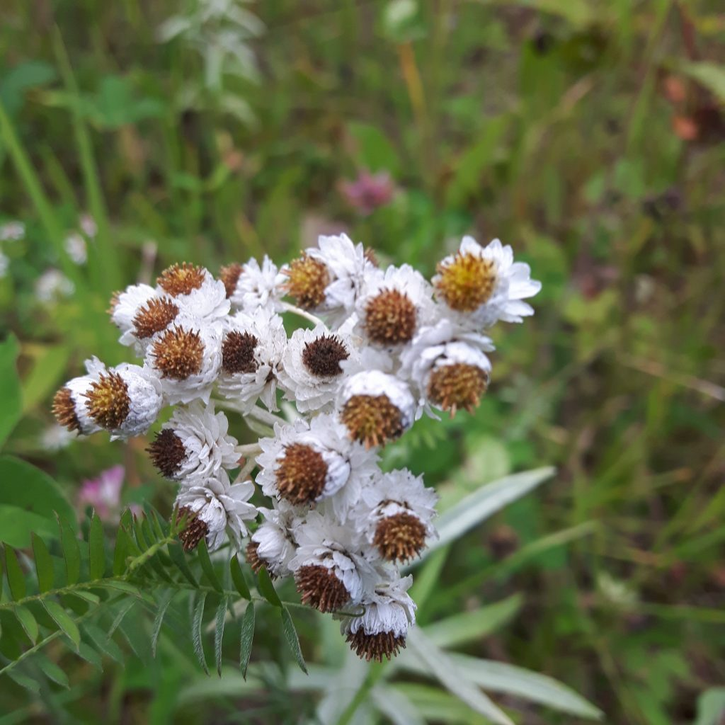 Pearly Everlasting Flower, white and yellow perennial wildflowers, tiny round flower heads with papery like petals.
