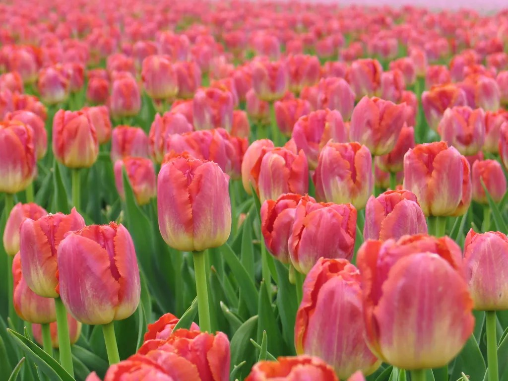 Miami Sunset Tulip. Classic PinkTulip with lightly ruffled petal edges available for ordering and planting in Fall for Spring Blooms.