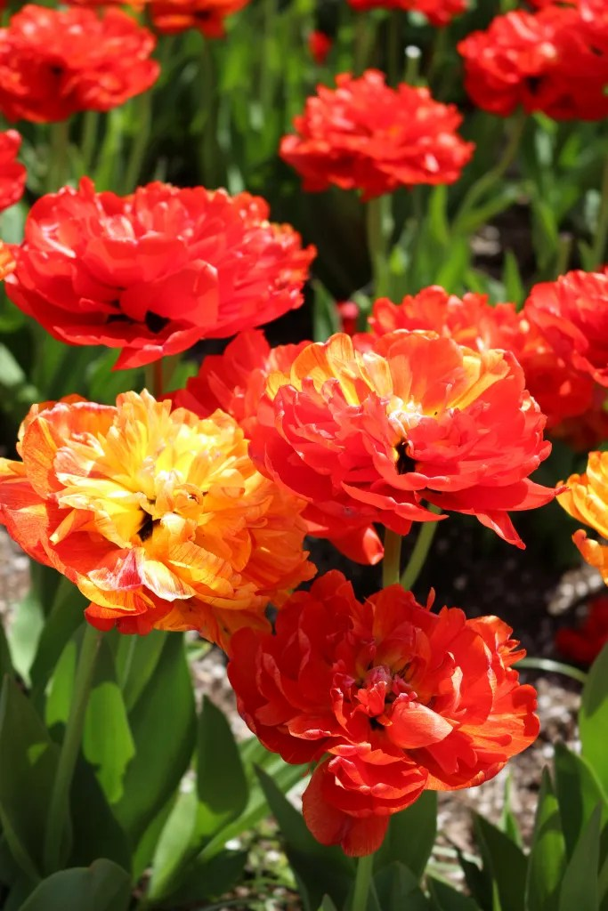 Sun Lover Tulip in shades of Apricot, Orange and Yellow available for ordering and planting in Fall.