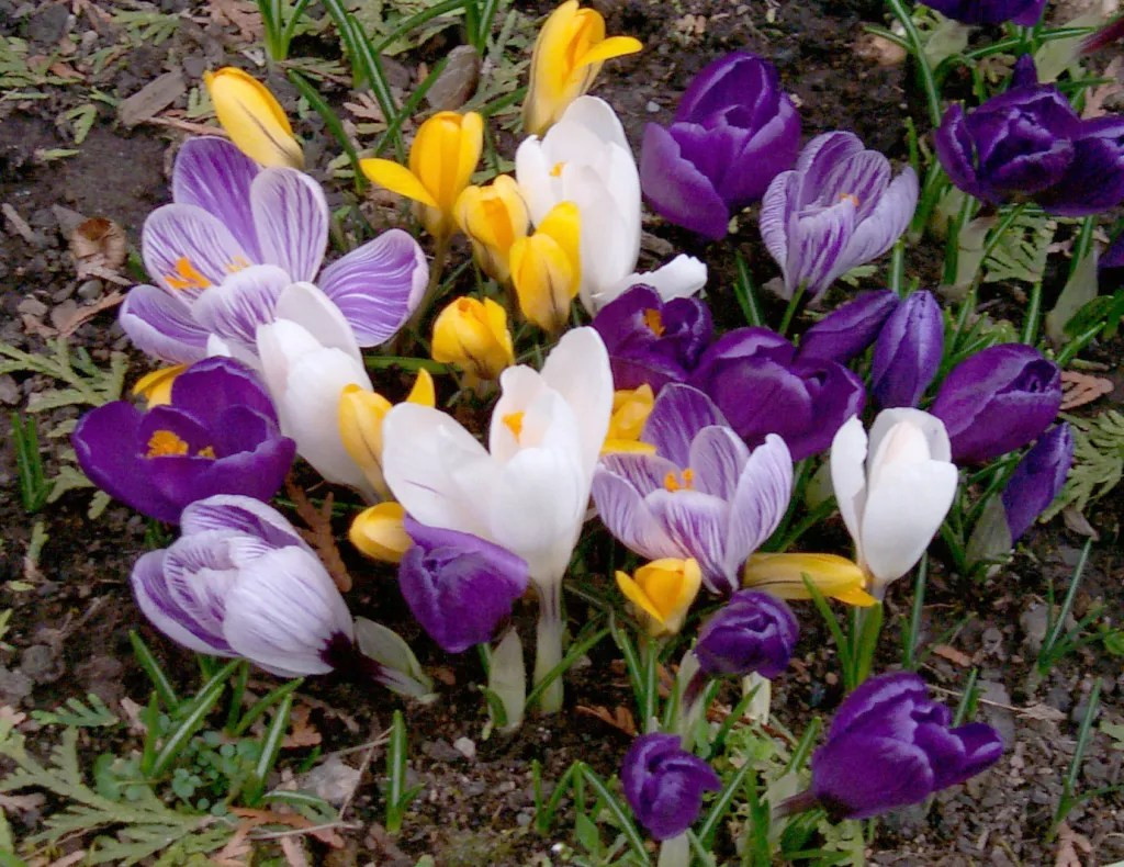 Mixed Crocus in various sizes and colours including white, Yellow, Purple and Variegated Purple blooms. Planted in the Fall these Perennial blubs will be one of the first garden blooms to appear in Spring.