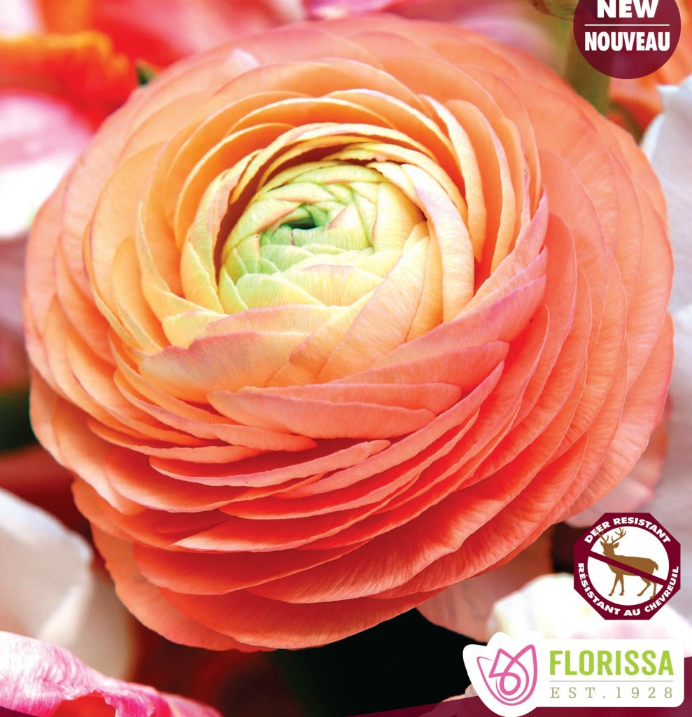Salmon colored with Green Centre Ranunculus