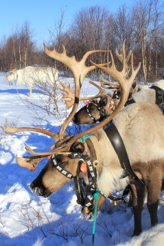 Reindeer, wearing harnesses with traditional Saami decorations, wait for their turn to compete in the Arctic Olympics.