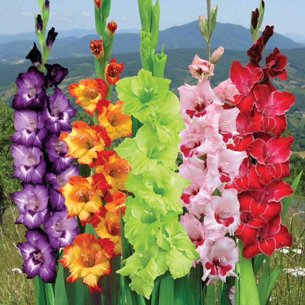 How to Grow Gladiolus  The Best Way Out   Ground Report Gladiolus Flower