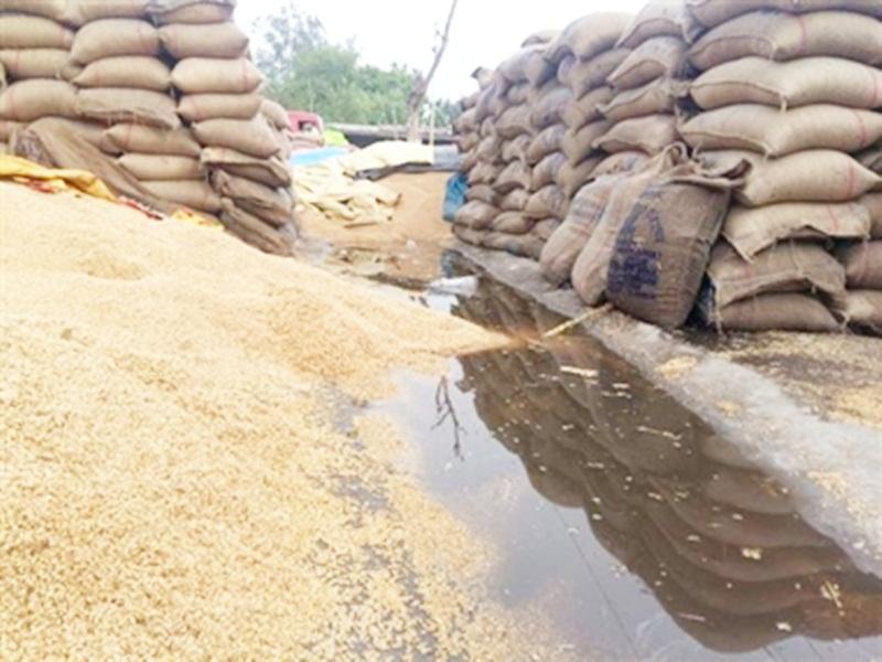 20 Thousand Metric Ton Wheat soaked in rain