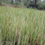 फसल-ख़राबी-से-किसान-हैं-परेशान-Pic-6-0.jpg