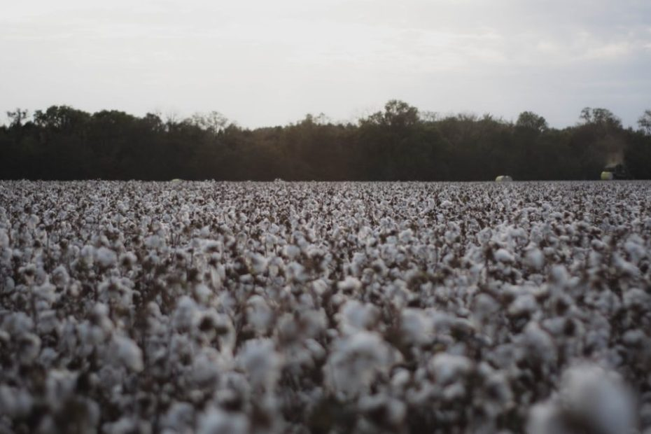 Half of all cotton-growing