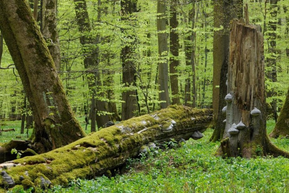 11 gigatonnes of carbon released from rotten trees every year