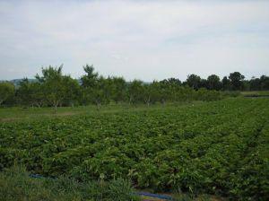 Understanding & Managing Vegetable Pests & Diseases