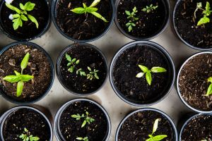Aerial view of 9 pots in three rows with dark, rich soil and small green plants growing in them