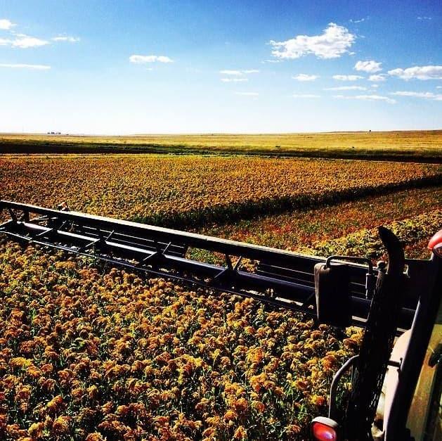 Bountiful Millet Harvest 2014