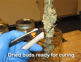 Dried buds ready for curing