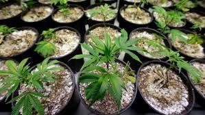 Cannabis pots samples