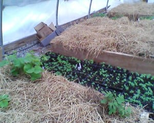 Sweet Potato beds and baby herbs
