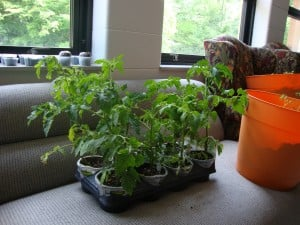 Mr. Stripey tomato plants.