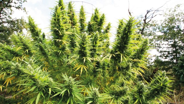 3608 top 10 outdoor cannabis strains for 2020