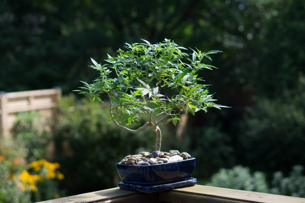 How To Make A Beautiful Cannabis Bonsai Growdoctor Guides