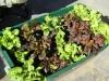 colourful-lettuces-in-greensmart-pot