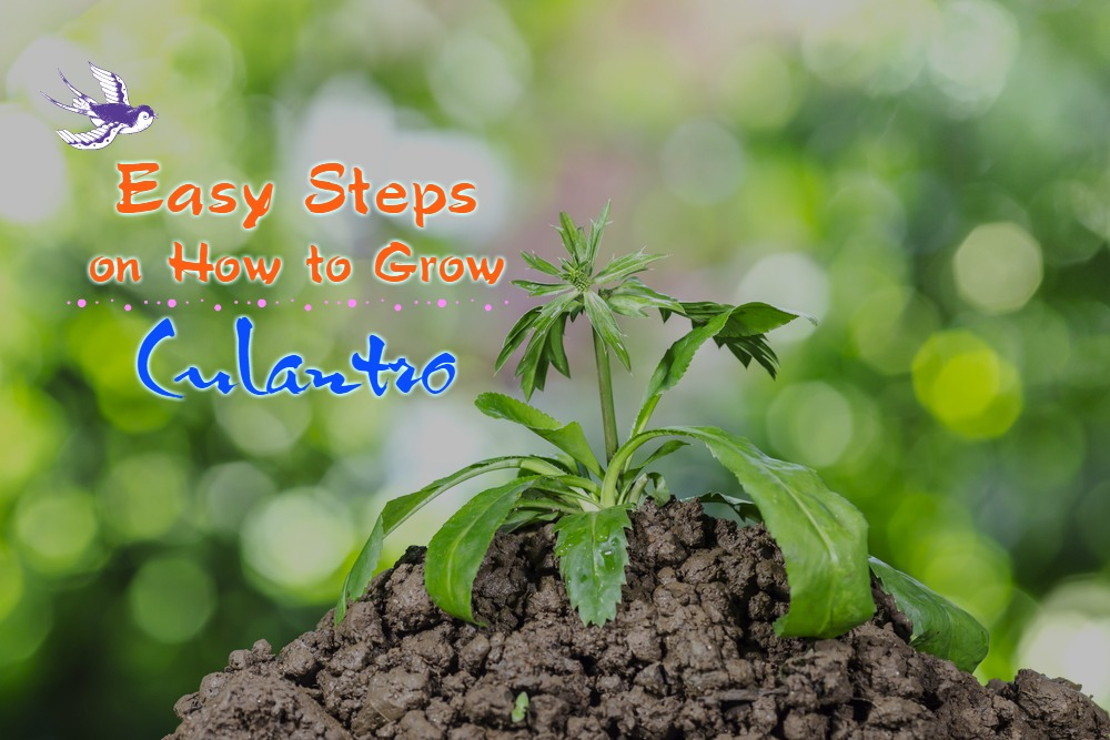 How to Grow Culantro