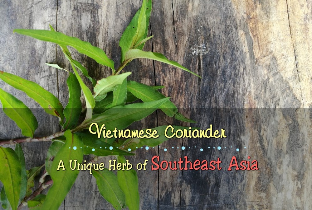 Everything about Vietnamese Coriander – A Unique Herb of Southeast Asia