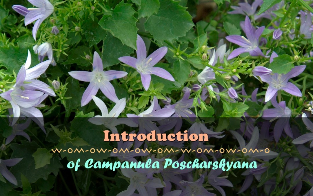 How To grow Campanula Poscharskyana In Your Garden