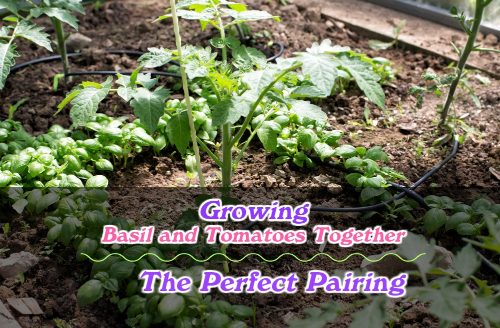 Growing Basil and Tomatoes Together: The Perfect Pairing
