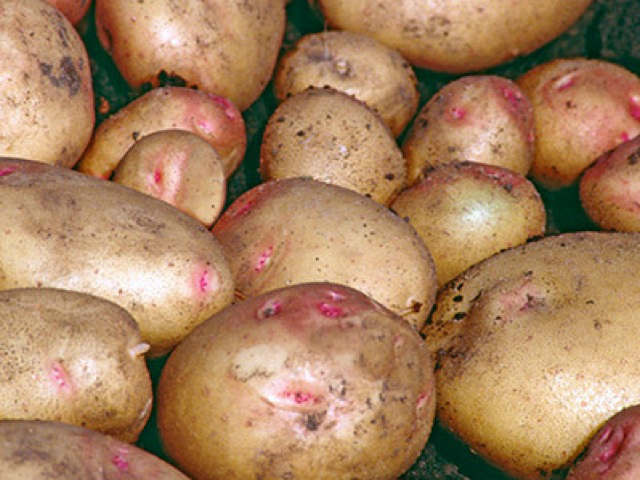 cara-seed-potatoes
